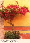Yellow Wall with Bougainvillea in San Miguel de Allende