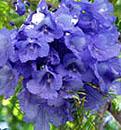 Jacaranda Blossoms, San Miguel de Allende