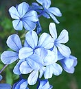 Plumbago Blossoms