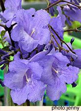 Jacaranda blossoms in San Miguel de Allende